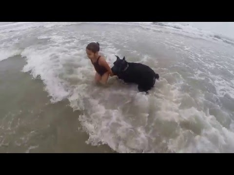 Giant schnauzer looking out for my daughter at dog beach