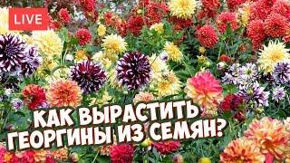Как вырастить ГЕОРГИНЫ из семян?