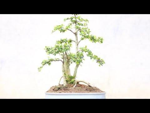 membuat-pot-bonsai-dengan-mudah