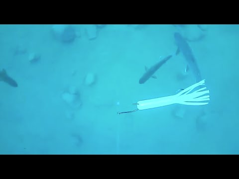 Underwater Mackinaw In Lake Tahoe –200 Feet Down