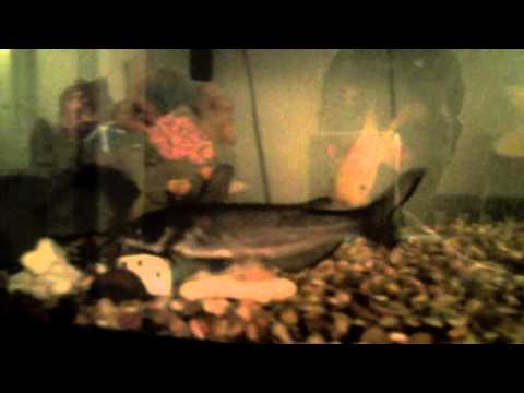 Channel  Catfish Eating With Goldfish