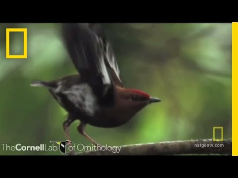 Bird Feathers Sing | National Geographic