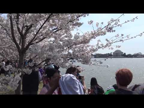 2019 National Cherry Blossom Festival Washington, DC