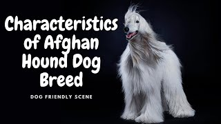 Let's get to know The Afghan Hound Dog Breed (Characteristics)