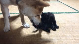 柴犬もも 子猫に興味津々 Shiba Inu and kitten thumbnail