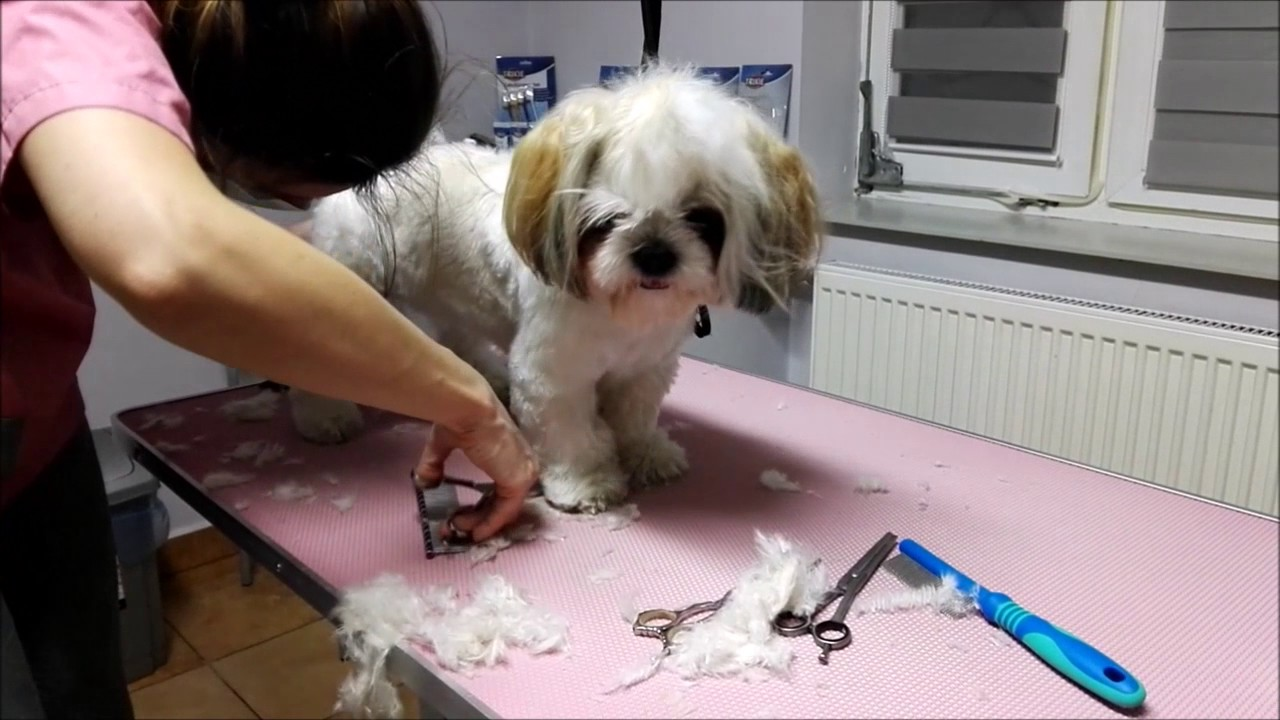 Perfekcyjne Strzyżenie Shih Tzu Nożyczkami Kseniya Rodkina Psi Fryzjer Nowy Wiśnicz Salon Zoogo
