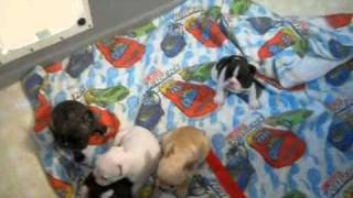 French Bulldog Puppies ~ 3 9 11 Mona Pups.wmv
