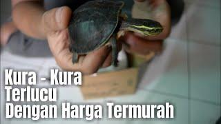 Unboxing 10 Ekor Kura - Kura Ambon baby