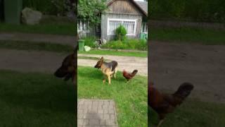 Pies vs kogut