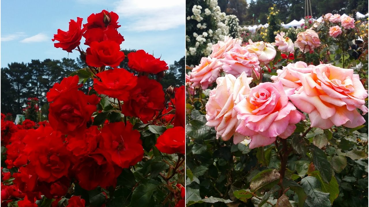 Roses   Stunning Colorful Roses And Most Beautiful Flower Garden   YouTube