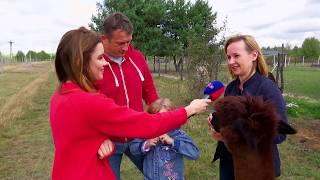 Alpaki w Miszyn Faszyn