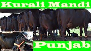 कुराली मंडी की दूध दाँत झोटियाँ I Collection of young Murrah buffaloes at Kurali Mandi Punjab
