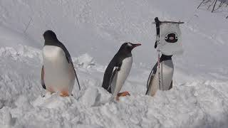 おたる水族館 新コースでペンギンの雪中散歩画像