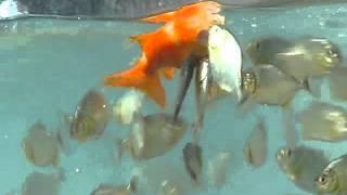 Keganasan anak piranha