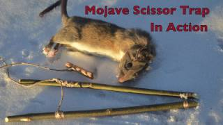 Mojave Scissor Survival Trap in Action. Catching and eating Rats. Primitive Technology