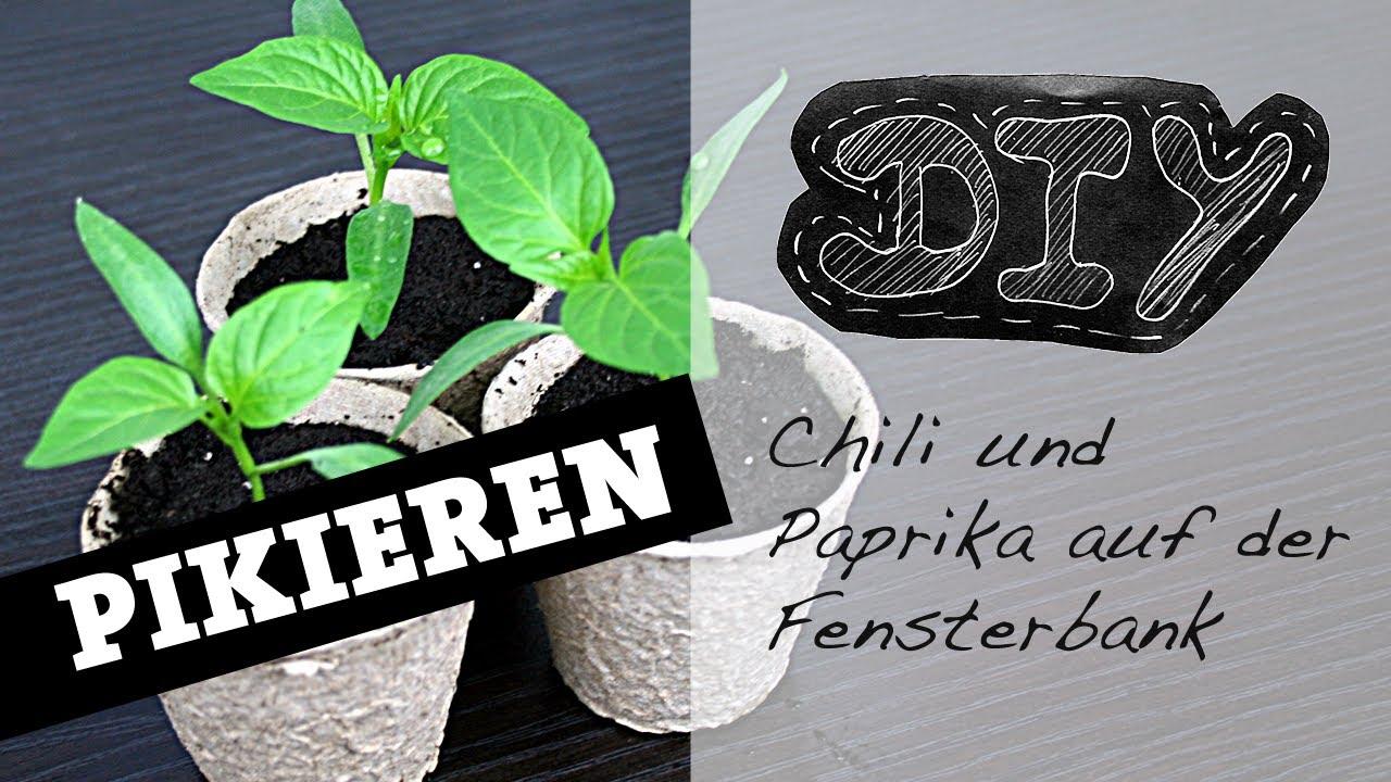 pikieren paprika und chili pflanzen fensterbank. Black Bedroom Furniture Sets. Home Design Ideas