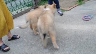 もうすぐ生後3か月になるラフコリーの子犬の動画です。お庭で遊ぶ様子を...