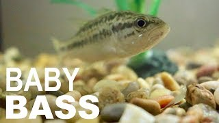 CATCHING A BABY BASS FOR MY FISH TANK!!!