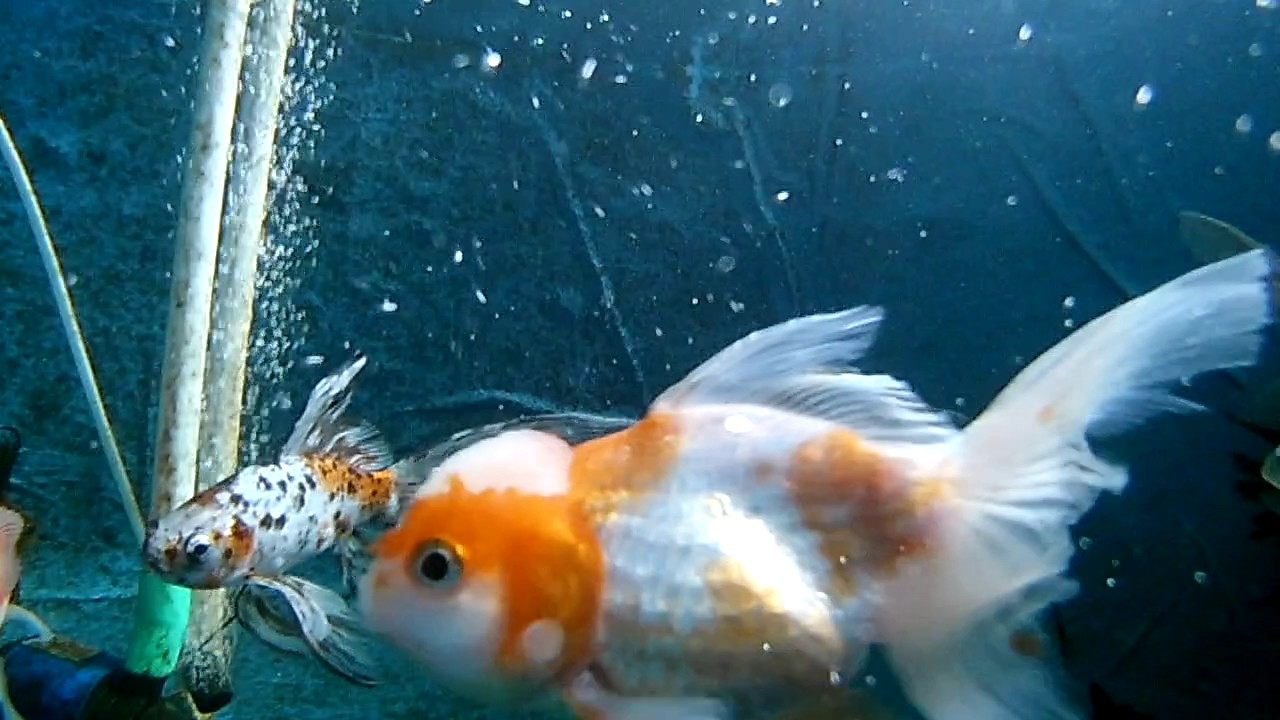 200 liter vegetable filter comet goldfish pond youtube for Comet pond fish