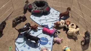 Little Rascals Uk Breeders New Litter Of Miniature Dachshunds