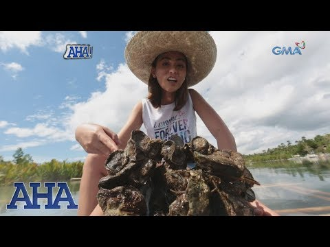 AHA!: Oyster farming in Bohol