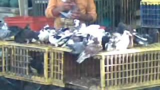 kak kormyat golubey v egypte