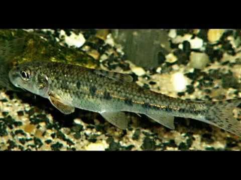 Речные рыбы Карп Карась