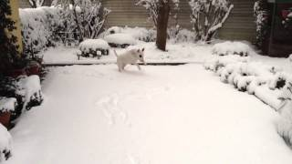 Bull Terrier Vs Snow Video ! Incredible Funny !