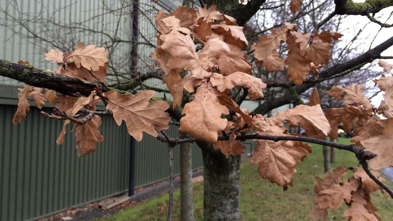 Mature oak marcescent