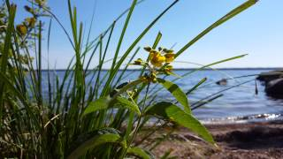 cover image for Yellow beach flowers 4K