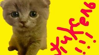 Как кормить вислоухих котят!!!