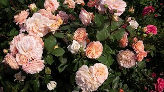 Очень удобный способ укрытия роз.