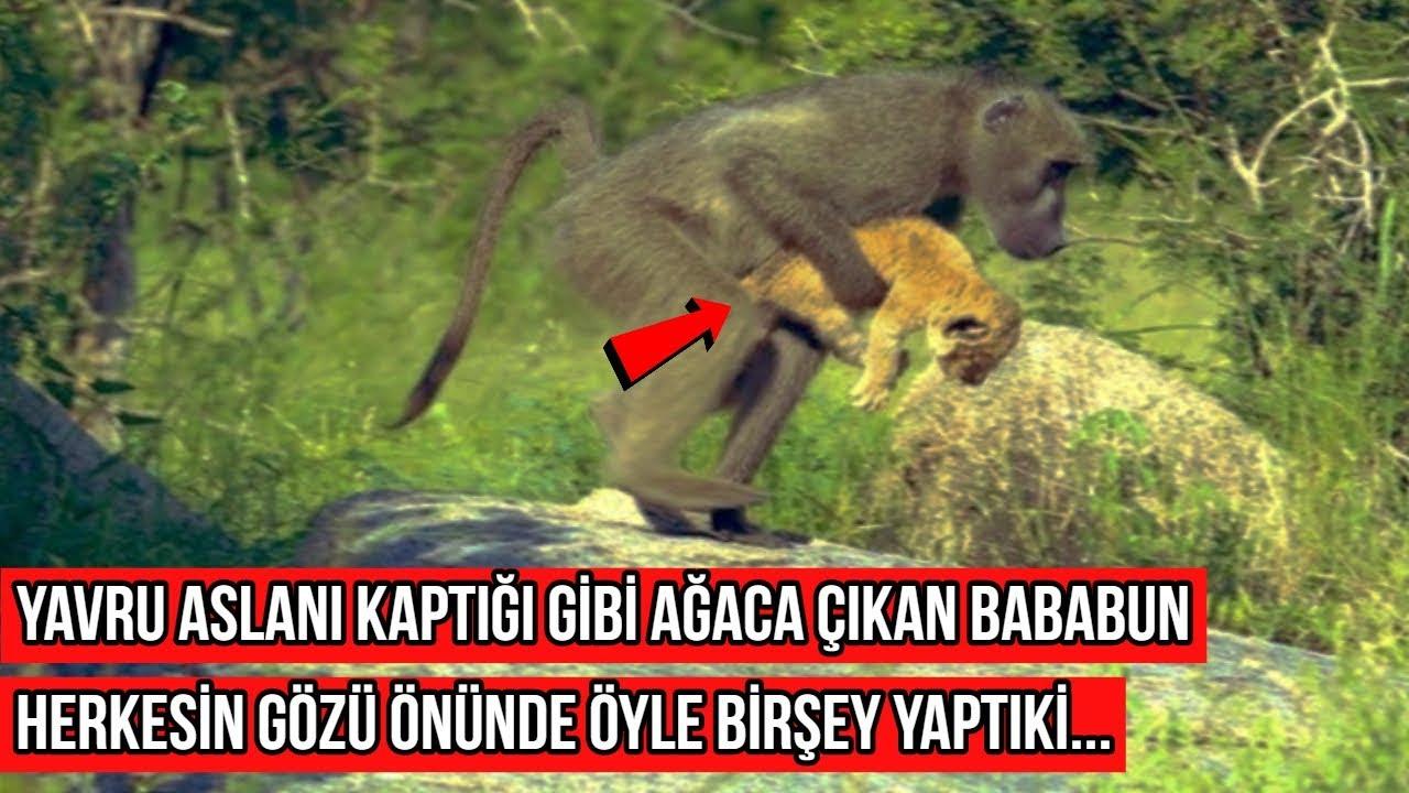 Yavru Aslanı Kapıp Ağaca Çıkan Babun Öyle Birşey Yaptıki