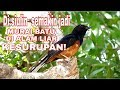 Gak Sengaja Lagi Parkir Lihat Burung Murai Batu Kesurupan Di Alam Liar  Mp3 - Mp4 Download