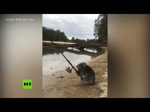 """Un día cualquiera en Australia"": Graban a un koala 'pescando' en Victoria"