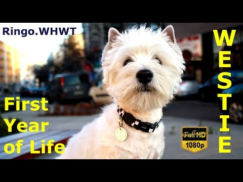 West Highland White Terrier - first year of life.
