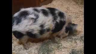 Pigs at the Sequoia Park Zoo in Eureka, California 7/7/15