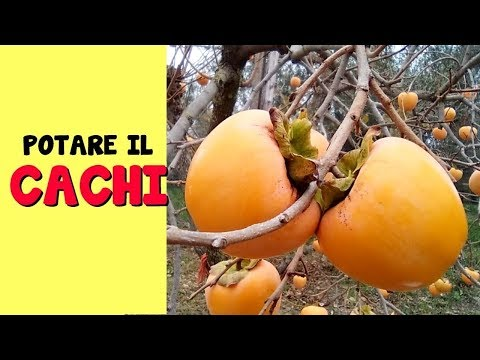 POTARE IL CACHI