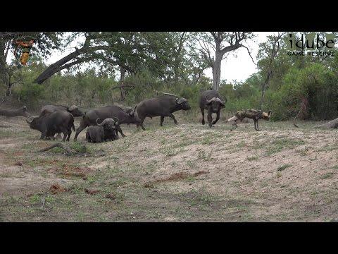 Painted/African Wild Dogs Disturb Buffalo Bulls