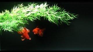 Goldfish Zen ✌