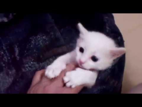 Smoky's Babies - Japanese Bobtail Kittens born 5/7/16