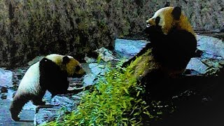 Giant Pandas eating bamboo [Pairi Daiza]