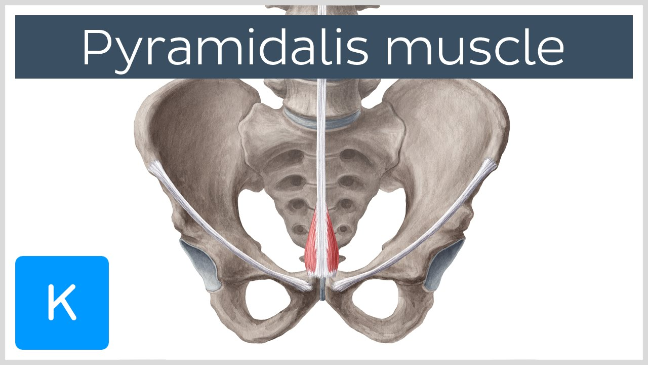 Pyramidalis Muscle Overview and Function- Human Anatomy | Kenhub ...