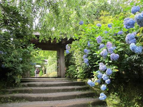 梅雨の日本列島は紫陽花・石楠花で魅了される。