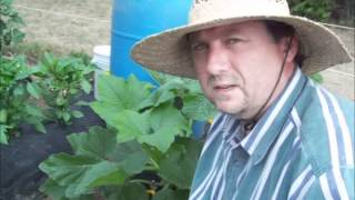 Squash Bug Identification And Control - Garden Pests