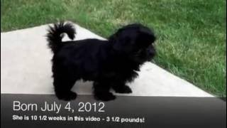 Black Shih Tzu Puppy First Day In Back Yard (10 1/2 Weeks)