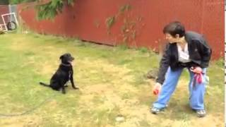 My Lover Giving Training To My Top Quality Pure Black Color Retriever Labrador