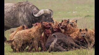 Animals attack  - Lions fight - Hyenas attack lions, buffalo, antelopes