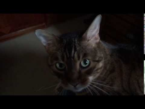 Cy the Talking  Bengal Cat