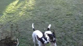 Www.rafpolice.me.uk (alphadog Holly & Rosie Chase The Ball).avi